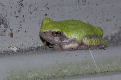 Grey Tree Frog (brucetopher) Tags: frog frogs grey gray treefrog greytreefrog graytreefrog hylaversicolor hyla versicolor amphibian arboreal creature tiny small mini summer