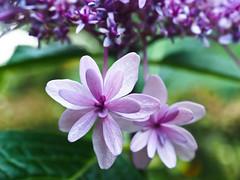 Hydrangea Purple Flower Tops 1 of 2 (Orbmiser) Tags: mzuikoed1240mmf28pro 43rds em1 mirrorless olympus ore portland m43rds riverplace garden flower flowers hydrainga hydrangea