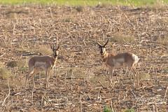 Pair of Pronghorn bucks