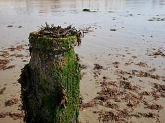 Breakwater Post (DaveC...) Tags: lumixg80 lumixvario1260mm wooden groyne breakwater seaweed sand beach lowtide