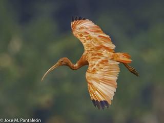 1-LIFER-Esta especie se encuentra en tierras bajas del valle bajo del río Magdalena y al oriente de los Andes. Su nombre deriva del griego eudokimos que significa glorioso, mientras que el epíteto ruber hace referencia a su coloración roja