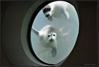 Seehund-Fütterung * Seals feeding * Seehund (Phoca vitulina vitulina) * Explored - Thank you :) .