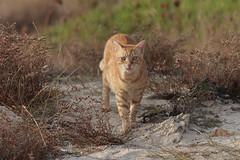 IMG_0011 Rubio, Mallorca (Fernando Sa Rapita) Tags: rubio cat gato lion leon mascota pet canon eos200d tamron tamron150600 canoneos