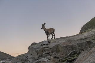 Ibex on the Rocks - Cadlimo