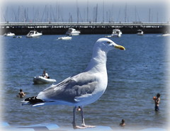 Standing Guard. (Maria .... on here to learn and be inspired.) Tags: seagull bird bokeh boats sea summer torquay playtime outdoors outside solitude peace