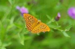 Who's the painter? (Baubec Izzet) Tags: baubecizzet pentax bokeh butterfly summer nature
