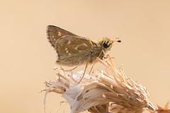 Hesperia comma (xarneymx) Tags: hesperia butterfly tagfalter kommavlinder