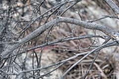 DSC_2628_Madagascar (Rocco Comandè 2010) Tags: mare roccocomandè©photography madagascar africa africani stick insect stickinsect insettostecco insetto stecco foresta forest legno albero tree