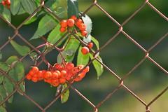 rowanberries (EllaH52) Tags: rowanberries rowan branch leaves fence green symmetry lines bokeh macro