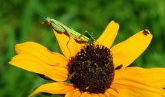 PRAYING-MANTIS AND FLY (dig dave) Tags: prayingmantis bug fly garden eat