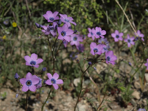 showy gilia, Gilia cana subsp. triceps