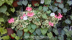 Morning Glory (With with violet star) flowers among variegated Geraniums on balcony railings 15th August 2018 (D@viD_2.011) Tags: morning glory with violet star flowers among variegated geraniums balcony railings 15th august 2018