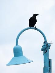 P8120014 (gprana) Tags: bird crow district22 em5 lamppost micro43 microfourthirds olympus olympusmzuikodigitaled75300mmf4867ii olympusomdem5 rafflesmarina singapore tuasplanningarea m43