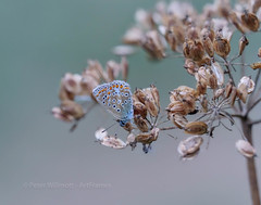 Common Blue on seed head (ArtFrames) Tags: ashammeads whitecrossgreenwood butterflies common blue seed heads devils bit scabious