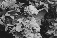 50/100x (eskayfoto) Tags: canon eos 700d t5i rebel canon700d canoneos700d rebelt5i canonrebelt5i monochrome mono bw blackandwhite 100x 100xthe2018edition 100x2018 lightroom image50100 sk201806141208editlr sk201806141208 angel statue stone leaves garden wings angelic heavenly heaven cherub