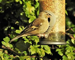 Female Chaffinch at Seed Feeder - Lamesley