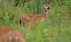 Whitetail Deer- Fawn_1475ee (Porch Dog) Tags: 2018 garywhittington kentucky nikond750 nikkor200500mm wildlife nature outdoors whitetail deer animal