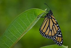 Monarch Butterfly on Milkweed (kevinmoore57) Tags: milkweed butterfly monarch marsh amboy ef100mm28l canon