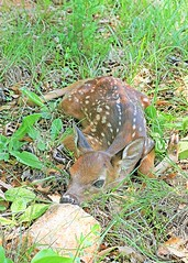 a perfect new life (hennessy.barb) Tags: fawn deerfawn whitetailfawn whitetaildeerfawn newborn newbornfawn babydeer innocent perfect new precious baby