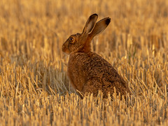 Evening with the locals (budgiepaulbird) Tags: hare brownhare canon7dmark2 100400mark2 local fields stubble eveninglight