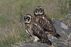 Short-eared Owls (Asio flammeus) DDZ_4358 (NDomer73) Tags: 08june2018 june 2018 malheurnationalwildliferefuge malheurnwr malheur burns bird shortearedowl owl raptor