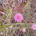 Sensitive Brier (Mimosa quadrivalvis)