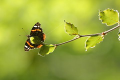 Red Admiral (Alan MacKenzie) Tags: butterfly nature wildlife summer wings beech sussex brighton close