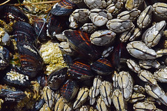 DSC_2206 ~ Mussels and Barnacles, Indian Beach, Ecola State Park (stephanie.ovdiyenko) Tags: indianbeach oregon ecolastatepark tidepool ocean pacificcoast pacificocean