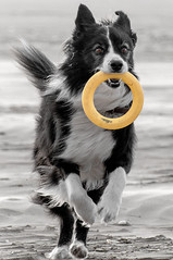 Harris (Nikki M-F) Tags: harris collie bordercollie dog run play beach toy joy