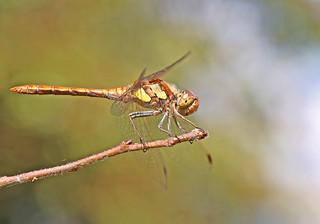 Common Darter - Michael Bird