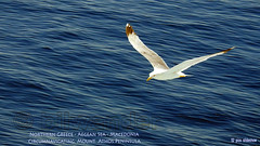 Greece, Macedonia, Aegean Sea, seagull  while cruising around Mount Athos peninsula (Macedonia Travel & News) Tags: greecemacedonia agiooros cruise chalkidiki aegeansea macedoniatravel greece makedonia macedoniatimeless macedonian macédoine mazedonien μακεδονια ancient greek culture vergina sun blog star thessaloniki hellenic republic prilep tetovo bitola kumanovo veles gostivar strumica stip struga negotino kavadarsi gevgelija skopje debar matka ohrid mavrovo heraclea lyncestis history alexander great philip macedon nato eu fifa uefa un fiba macedonianstar verginasun macedoniapeople macedonians peopleofmacedonia macedonianpeople macedoniablog macedoniagreece timeless македонија macedonianews macedoniapress македонијамакедонскимакедонци tourism macedonia