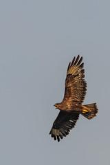 Common Buzzard (AwfulWanderer) Tags: birds bird bif uk devon nature wildlife