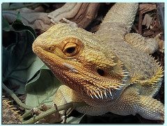 """In need of a """"Pet-T-Cure"""" ? (A Work of Mark) Tags: lizard scales reptile living color"""
