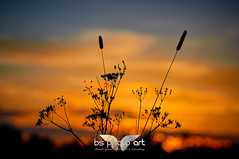 Reed silhouettes at dusk (BS PhotoArt) Tags: reed grass silhouettes meadow sunset dusk nature captureone c1
