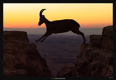 Leaping Ibex (Ilan Shacham) Tags: wildlife ibex leaping jumping action sunrise cliff desert ledge dawn fineart fineartphotography beauty nature makhteshramon negev israel
