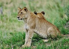 Lion Cub (Panthera leo) (Susan Roehl) Tags: botswana2013 moremigamereserve okavangodelta botswana southernafrica lions pantheraleo animal mammal predator taketowaterregularly huntelephantsandhippos homerangevaries overlapping negotiatechannelsandfloodplains sueroehl photographictours naturalhabitatadventures pentaxk3 sigma150500mmlens handheld cropped grass youngster canhavesixcubs twotothreecommon cubsopeneyesattendays keptinisolation coth5 ngc
