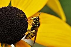 Sächsische Wespe (Dolichovespula saxonica) (norbertherrmann) Tags: insekten wespen macro nature
