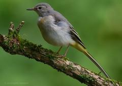 Giovane ballerina gialla (rubacolor) Tags: birds ballerina gialla uccelli penne motacilla cinerea
