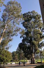 Tallest (Melinda Stuart) Tags: uc eucalyptus berkeley ucb campus figures tall tree