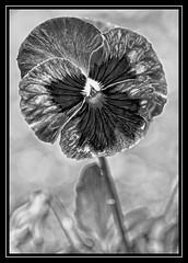 """Mono Flora..."" (NikonShutterBug1) Tags: nikond7100 tokina100mm nature bokeh spe smartphotoeditor closeup macro flower flora blackwhite bw pansy 7dwf sundaylights"