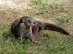 Otter (martin_swatton) Tags: otter water animal olympus omd em1 mkii mzuiko 40150 ed pro newforestwildlifepark