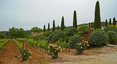 Grapevines - 'graded' up with roses / Weinstöcke - mit Rosen ver'edelt' (Manfred_H.) Tags: landschaft landscape landwirtschaft weinbau agriculture viniculture provence france
