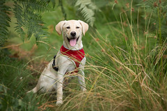 Happy Puppy (aveyardphotography) Tags: holly lab labrador retriever puppy dog outdoors moorland tongue pet sit sitting happy ferns grass