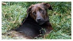 Black (o.dirce) Tags: dog cão animal black gramado verde green odirce