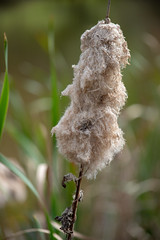 Fluffy Shedding Cattail Water Reeds (Merrillie) Tags: vegetation weed wetland natural landscape winter closeup nature water leaf flower grasses cattails grass phragmites grassfamily agriculture fluffy plant fluff soil pond dam marsh rushes reeds outdoors environment shedding crop swamp field