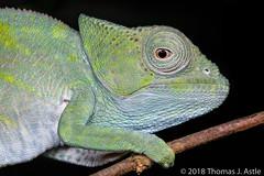 Juvenile Parson's Chameleon (Tom's Macro and Nature Photographs) Tags: macrophotography wildlifephotography naturephotography madagascar reptiles lizard chameleons calumma forest animals