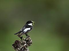Pied Flycatcher Male (Colin Rigney) Tags: nature wildlife scotland colinrigney scottishwildlife birds wings outdoors outside avian canon wild beautifulbirds wildbirds piedflycatcher