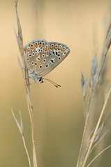 Polyommatus icarus (moments in nature by Antje Schultner) Tags: butterfly schmetterling mariposa papillon makro macrophotography bläuling weiblich