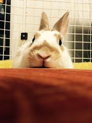 にーなちゃん (ココロのおうち) Tags: rabbit bunny pet 動物 うさぎ ペット うさぎ専門店 ココロのおうち うさぎラブ