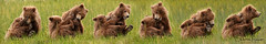 Mom - He started it not me! (Sharon's Nature) Tags: brown bear brownbear cubs cubsplaying adorable alaska lakeclarknationalpark canon grizzlies ursusarctos composite wildlife nature bestoftheday nationalgeo mammals animal inthewild